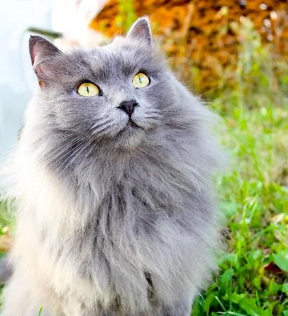 gato gris: hermoso gato gris con ojos amarillos  Foto de archivo