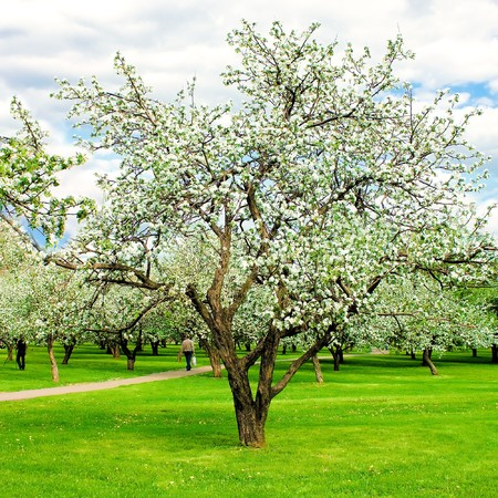 sunny apple forest in springtime, beautiful blooming woodland