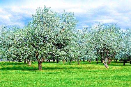 Beautiful blooming apple garden in spring photo