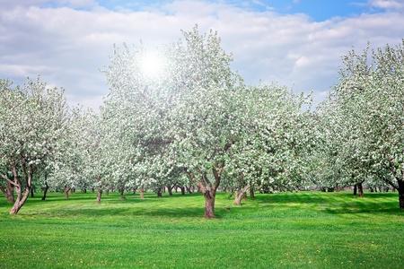 blühenden Apfel Bäumen Garten im Frühjahr Lizenzfreie Bilder