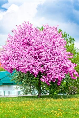 flowering of cherry tree in springtime photo