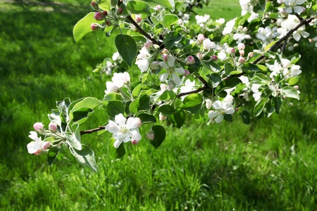 florescence: background of bright beautiful apple branches in florescence