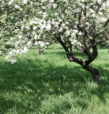 florescence of beautiful apple trees in springtime photo