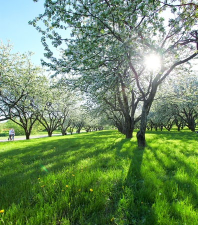 beautiful blooming apple trees in spring park photo