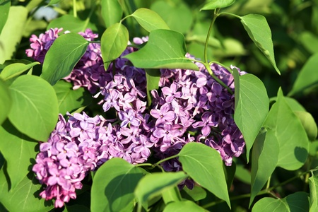 blooming lilac branches in springtime photo