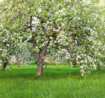Beautiful blooming of decorative white apple and fruit trees over bright blue sky in colorful vivid spring park full of green grass by dawn's early light with first sun rays, fairy heart of nature photo