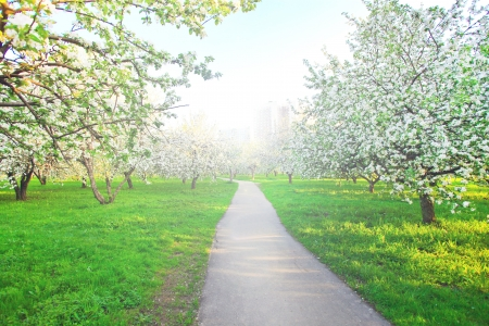 dawns: Beautiful blooming of decorative white apple and fruit trees over bright blue sky in colorful vivid spring park full of green grass by dawn�s early light with first sun rays, fairy heart of nature Stock Photo