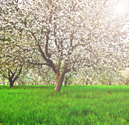 Beautiful blooming of decorative white apple and fruit trees over bright blue sky in colorful vivid spring park full of green grass by dawn's early light with first sun rays, fairy heart of nature