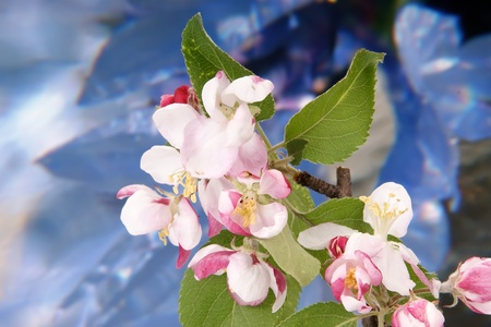 Branch with flowers and blossoms of apple photo