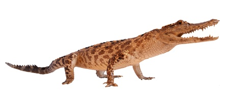 Crocodile isolated on a white background photo