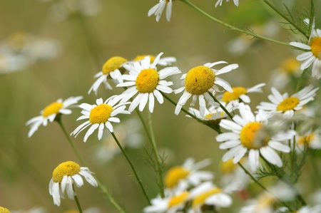 Blooming wild chamomile flowers in the field photo