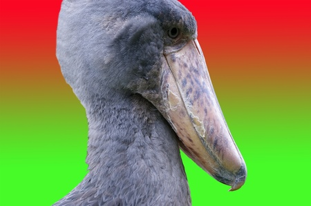 derives: African Shoebill, Balaeniceps rex, also known as Whalehead, is a very large stork-like bird. It derives its name from its massive shoe-shaped bill Stock Photo