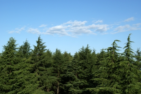 Pines against the blue sky 写真素材