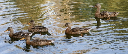 flock of gray ducks floating on a summer pond photo