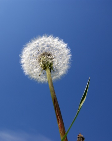 White Dandelion close up against the blue clear sky photo