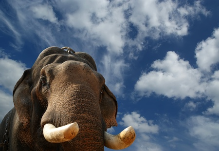 south india: Face of Asian Elephant, or Indian, Kerala, South India Stock Photo