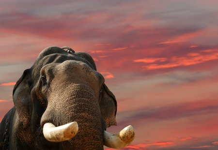 Face of Asian Elephant, or Indian, Kerala, South India photo