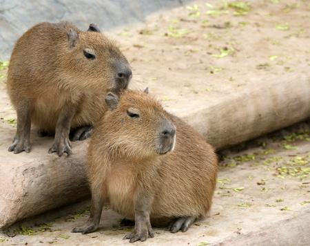 カピバラ (Hydrochoerus hydrochaeris)、動物園、モスクワ、ロシア 写真素材