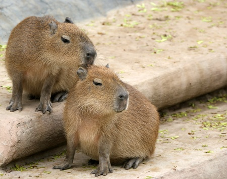 The Capybara (Hydrochoerus hydrochaeris), zoo, Moscow, Russia Stock Photo