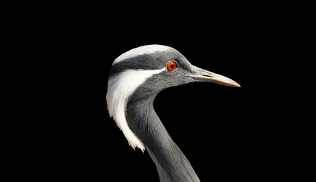 stork, isolated on a black background photo
