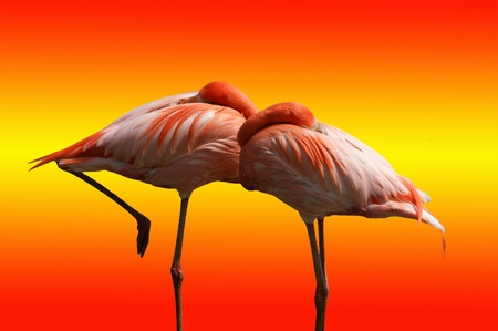 Large-scale image of the red flamingos, isolated on bright background photo