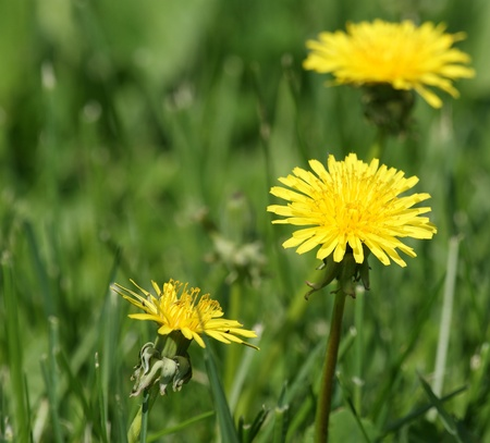 Yellow spring flowers of dandelions close up in bright sunny weather Stock Photo - 11319993