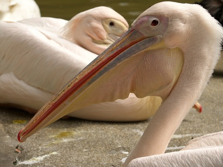inhabitants: Pelicans � inhabitants of sea shoal, superficial fresh and salty lakes.  They go clumsily, but well fly and float, can soar long. From water rise after running start. In flight because of a long heavy beak hold a neck letter S