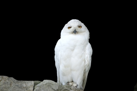 White (polar) owl, separately on a black background  photo