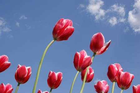 Beautiful red tulips against the blue sky with clouds in the sunny weather Stock Photo - 11330993