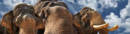 Face of Asian Elephant, or Indian, Kerala, South India photo