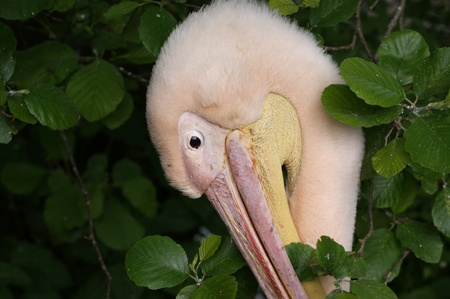 superficial: Pelicans � inhabitants of sea shoal, superficial fresh and salty lakes.  They go clumsily, but well fly and float, can soar long. From water rise after running start. In flight because of a long heavy beak hold a neck letter S