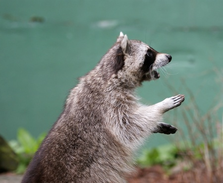 Raccoon largely on the hinder legs, asking meal Stock Photo - 11331816