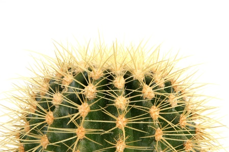 Decorative cactus on a white background photo