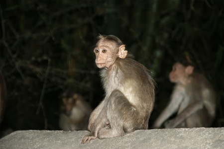 monkey (macaque) in a natural environment, South India, Kerala Stock Photo - 11319878