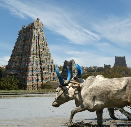 south india: buffaloes in the rice fields on the background of Meenakshi Hindu temple in Madurai, Tamil Nadu, South India. Stock Photo