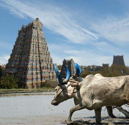 Bufali nei campi di riso sullo sfondo del tempio indù Meenakshi a Madurai, Tamil Nadu, India del sud. Archivio Fotografico - 11338973