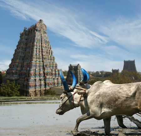 buffaloes in the rice fields on the background of Meenakshi Hindu temple in Madurai, Tamil Nadu, South India. Stock Photo
