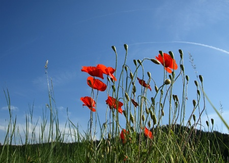 Red poppies on blue sky background photo