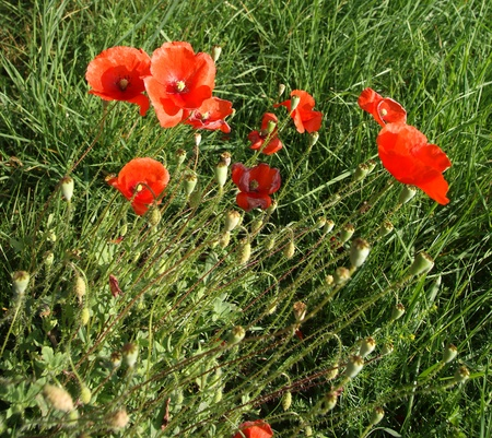 Red poppies on a background of green grass Stock Photo - 11330664