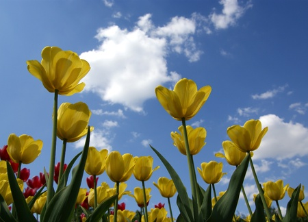 Beautiful yellow tulips on a background of blue sky with clouds in the sunny weather Stock Photo - 11320120