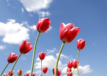 Beautiful red tulips against the blue sky with clouds in the sunny weather Stock Photo - 11320104