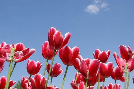 Beautiful red tulips against the blue sky with clouds in the sunny weather Stock Photo - 11320158