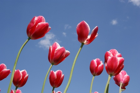 Beautiful red tulips against the blue sky with clouds in the sunny weather Stock Photo - 11320173