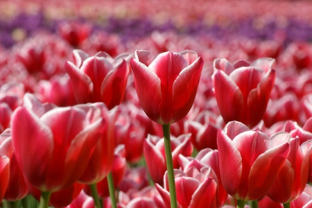 A field of beautiful red tulips closeup in the rays of sunlight photo