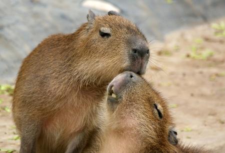 The Capybaras (Hydrochoerus hydrochaeris) Capybara or Wasserschwein