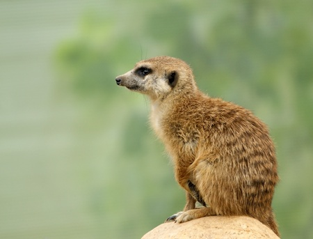 The meerkat or suricate (Suricata, suricatta), a small mammal, is a member of the mongoose family. Zoo, Moscow, Russia photo