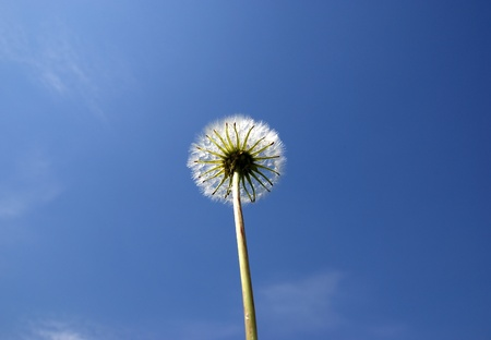 White Dandelion close up against the blue clear sky