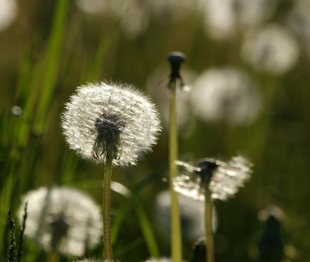 The heads of large white fluffy dandelions in the spring field photo