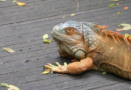 centimetres: Present Iguany (sort Iguana) are one of the largest representatives of family, the length Iguany ordinary (Iguana iguana) reaches 2 m. For comparison, the length of deserted Iguany (Dipsosaurus dorsalis) usually does not exceed 14 centimetres