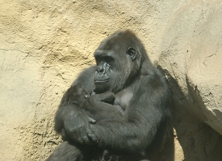 The large image of a sitting gorilla coastal. Holds on hands of a cub photo
